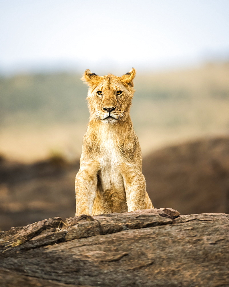 Portrait of a lion cub (Panthera leo) sitting on a rock and looking at a camera, Kenya