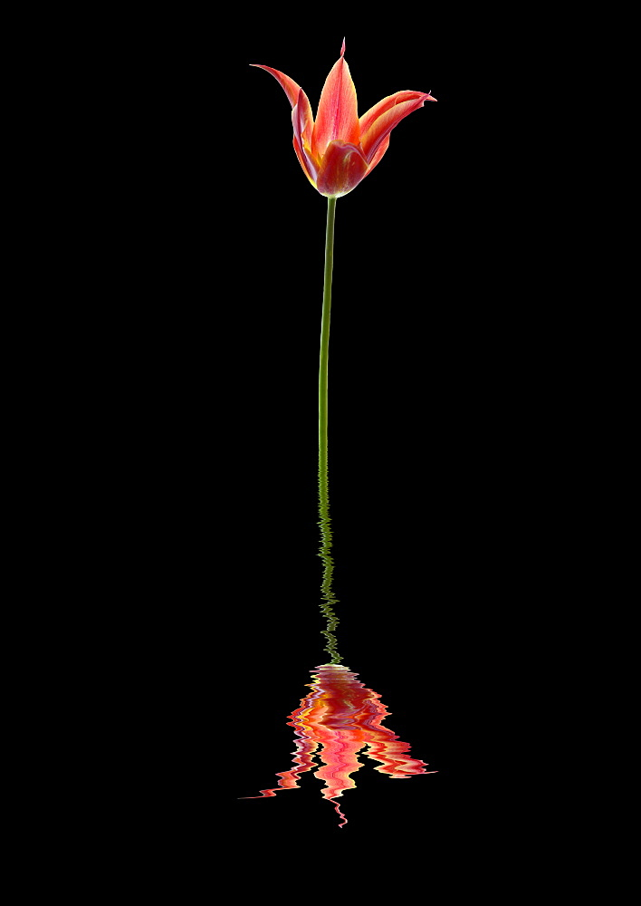 3 pointed tulip reflected in water on a black background