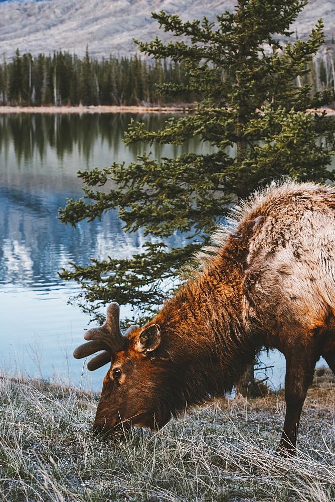 Elk (Cervus canadensis) grazing at the water's edge in Jasper National Park, Alberta, Canada
