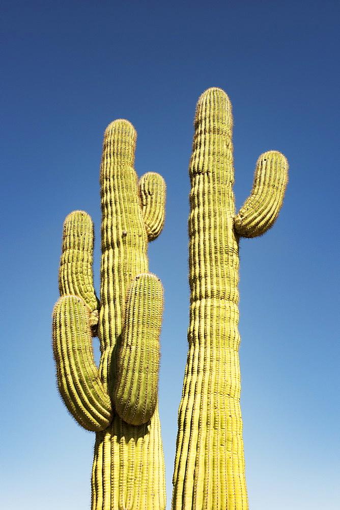 A pair of mature Saguaro cactus (Carnegiea gigantea) in the Sonoran Desert against a blue sky, Arizona, United States of America