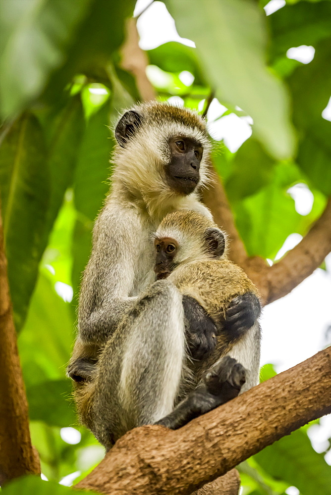 Vervet monkey (Chlorocebus pygerythrus) mother and baby in tree, Serengeti National Park, Tanzania