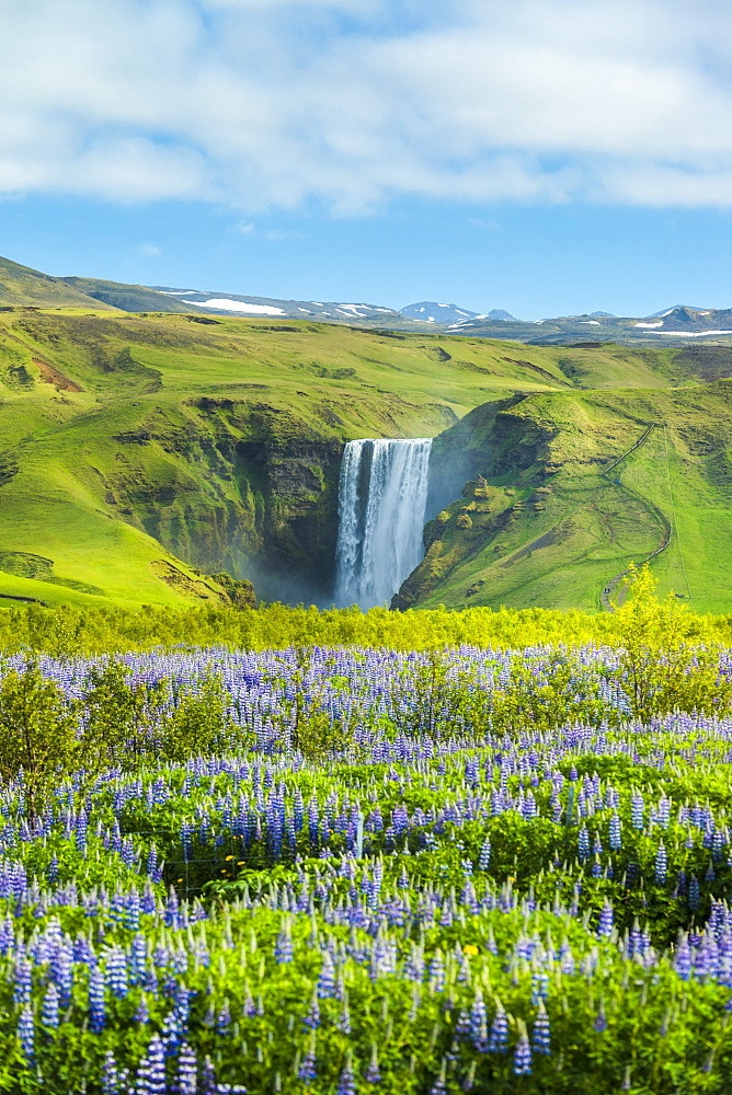 Lupins bloom in front of Skogafoss waterfall, Skoga, Iceland - 1116-48744