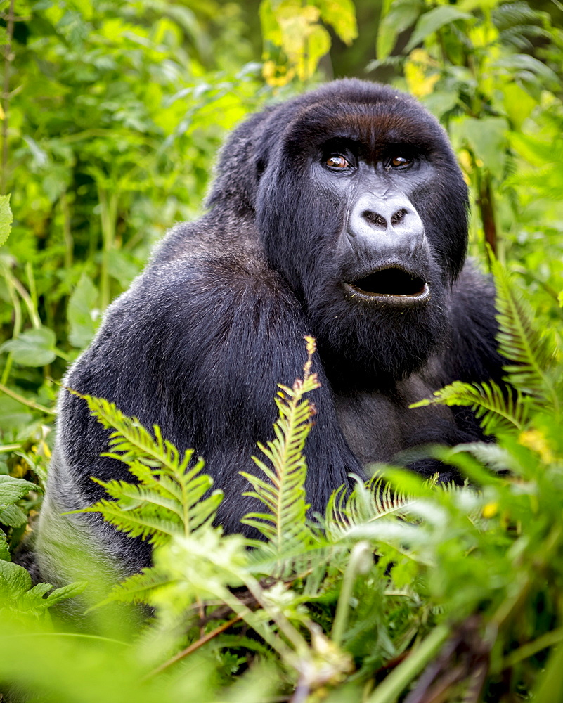 A Gorilla from the Giranzea Gorilla family sitting in the lush foliage with it's mouth open, Northern Province, Rwanda