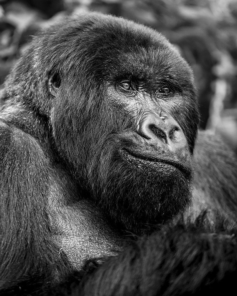 Black and white close-up portrait of a gorilla, Northern Province, Rwanda