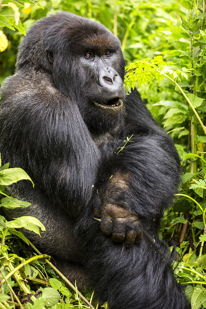 A gorilla sitting in the lush foliage, Northern Province, Rwanda
