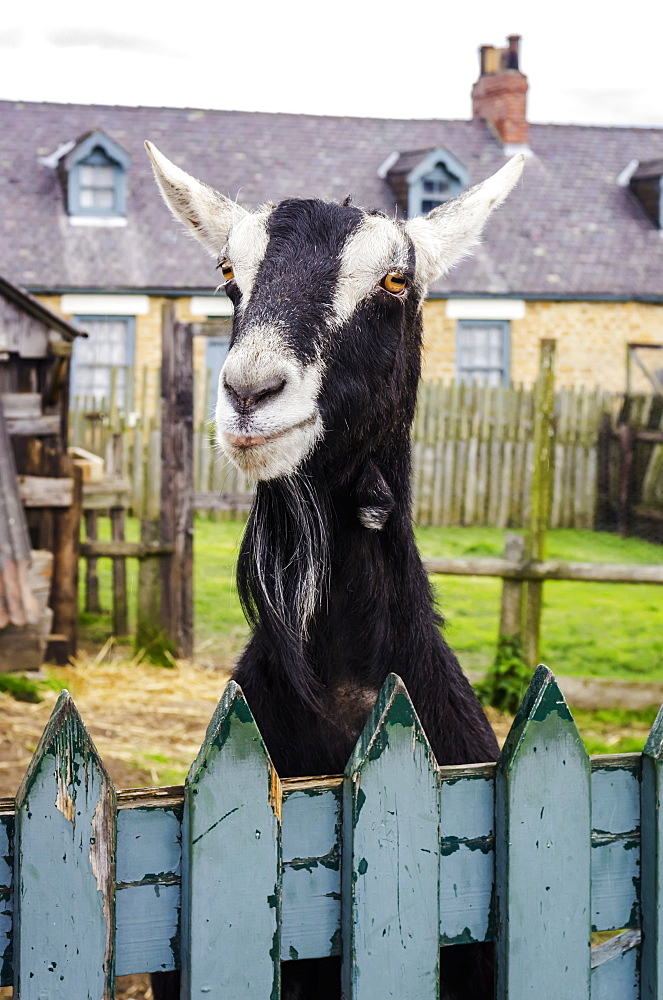 Goat peering over a blue painted fence, Beamish, County Durham, England