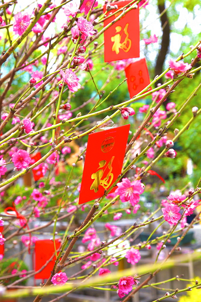 Cherry blossom trees with Lai See Red Envelopes for Chinese New Year, Hong Kong, China, Asia - 1126-1660
