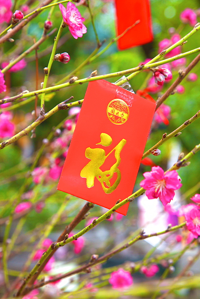 Cherry Blossom Trees With Lai See Red Envelopes For Chinese New Year, Hong Kong, China, South East Asia - 1126-1663