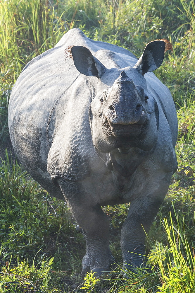 Indian rhinoceros (Rhinoceros unicornis) in elephant grass, Kaziranga National Park, Assam, India, Asia