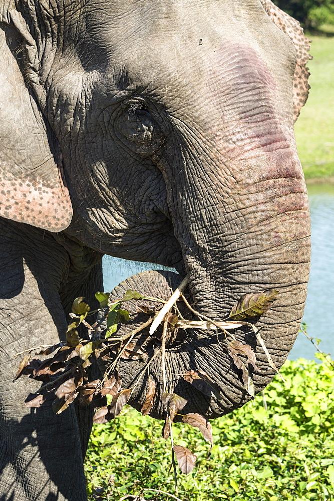 Indian elephant (Elephas maximus indicus) feeding on grass and leaves, Kaziranga National Park, Assam, India, Asia