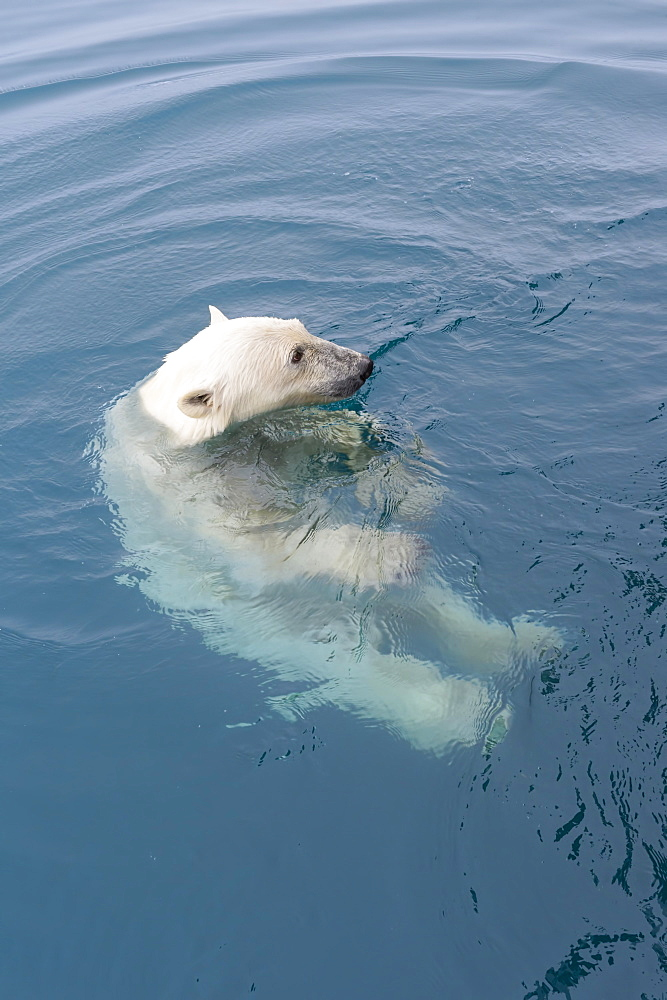 Curious Polar Bear (Ursus maritimus) swimming around an expedition ship and looking up, Svalbard Archipelago, Arctic, Norway, Europe