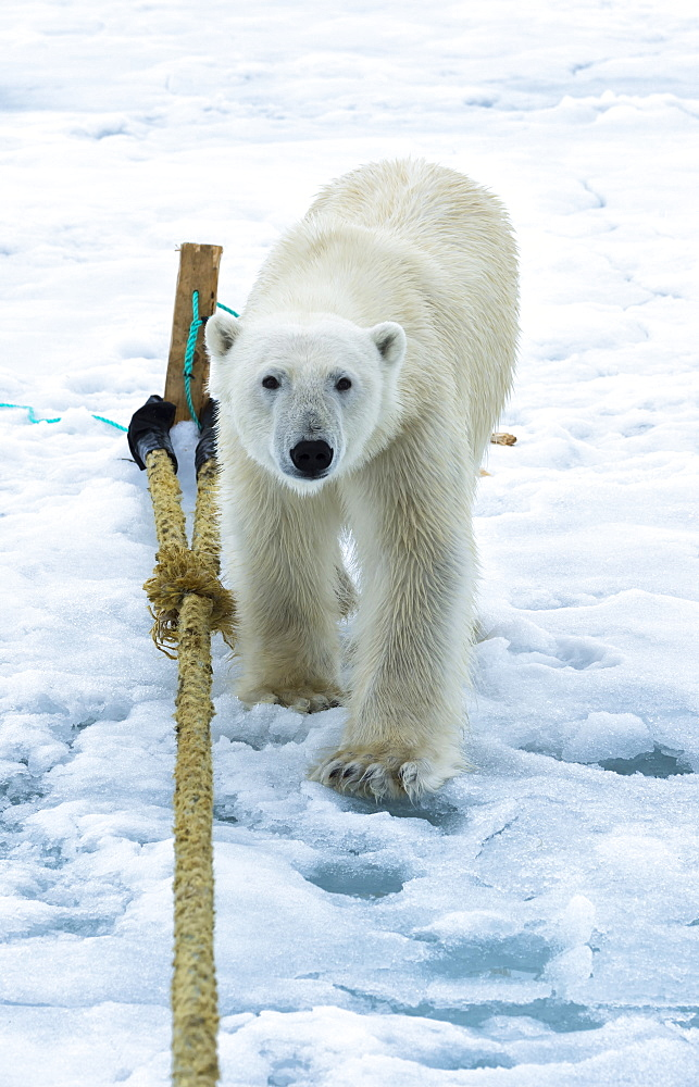 Polar Bear (Ursus maritimus) inspecting the pole of an expedition ship, Svalbard Archipelago, Arctic, Norway, Europe