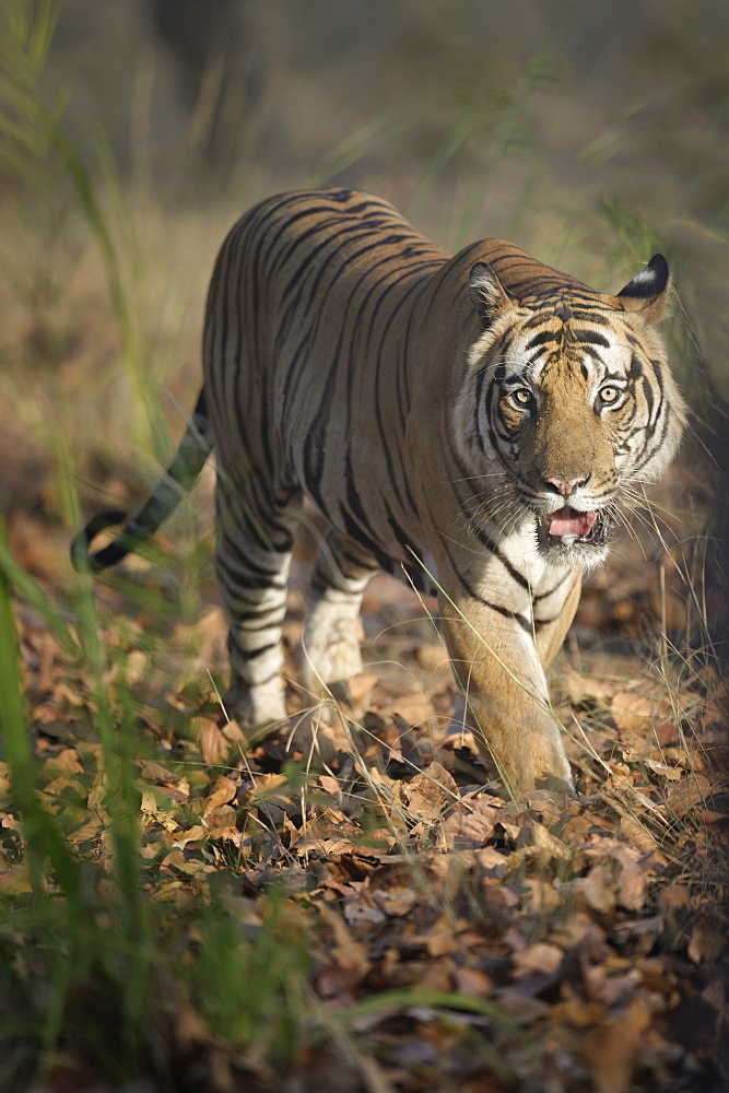 Male Bengal tiger (Panthera tigris tigris) walking in the forest, Bandhavgarh National Park, Madhya Pradesh, India, Asia - 1131-1300