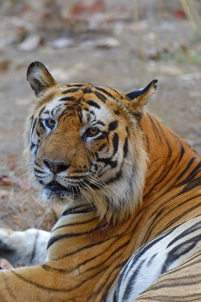 Male Bengal tiger (Panthera tigris tigris) resting, Bandhavgarh National Park, Madhya Pradesh, India, Asia