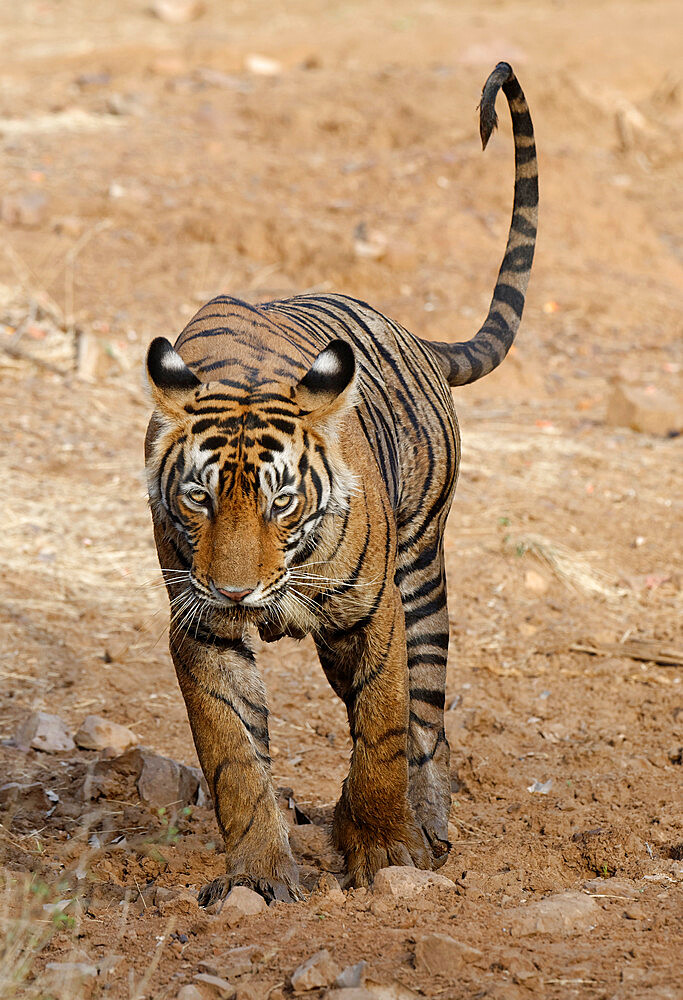 Female Bengal tiger (Panthera tigris tigris) walking straight to the camera, Ranthambhore National Park, Rajasthan, India, Asia