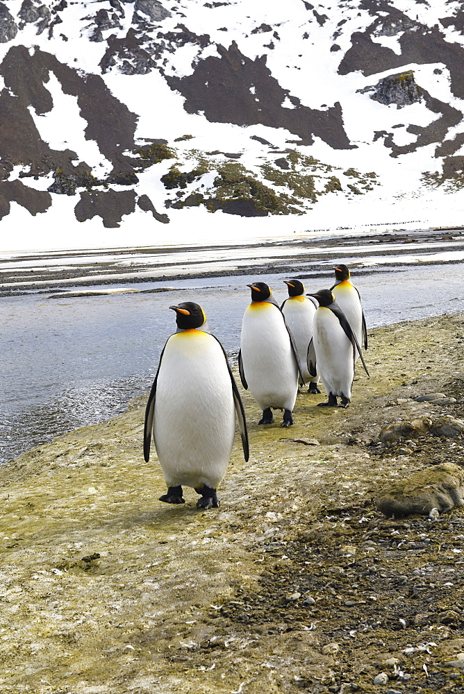 King Penguins (Aptenodytes patagonicus) on the plain of Right Whale Bay, South Georgia Island, Antarctic, Polar Regions