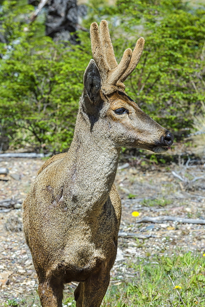 Male South Andean Deer (Hippocamelus bisulcus), Aysen Region, Patagonia, Chile, South America