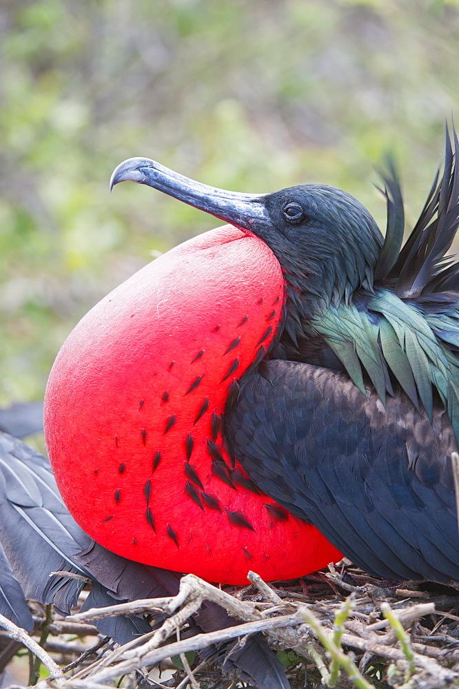 Great Frigatebird male (Fregata minori), Genovesa Island, Galapagos, UNESCO World Heritage Site, Ecuador, South America