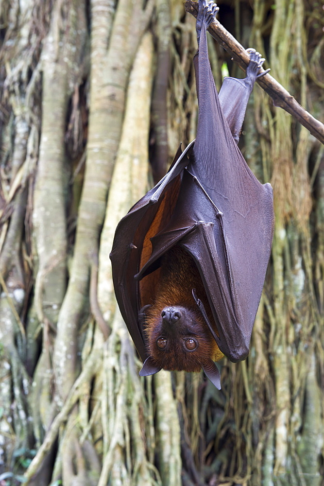 Large flying fox (Pteropus vampyrus) hanging in a tree, Bali, Indonesia, Southeast Asia, Asia