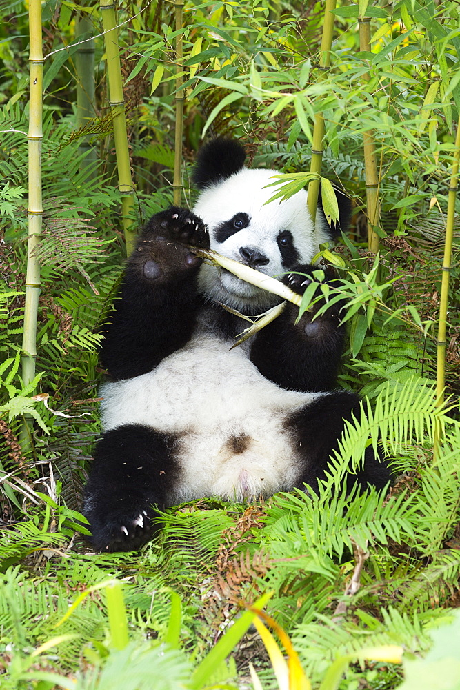 Two year old young giant panda (Ailuropoda melanoleuca), China Conservation and Research Centre, Chengdu, Sichuan, China, Asia