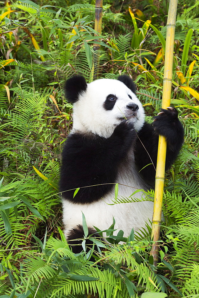 Two year old young Giant Panda (Ailuropoda melanoleuca), Chengdu, Sichuan, China, Asia