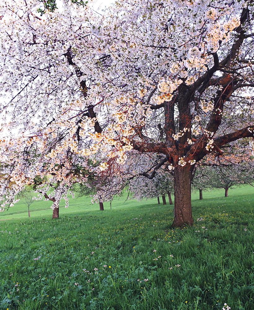 High quality stock photos of tree - Romanian cherry tree varieties ...