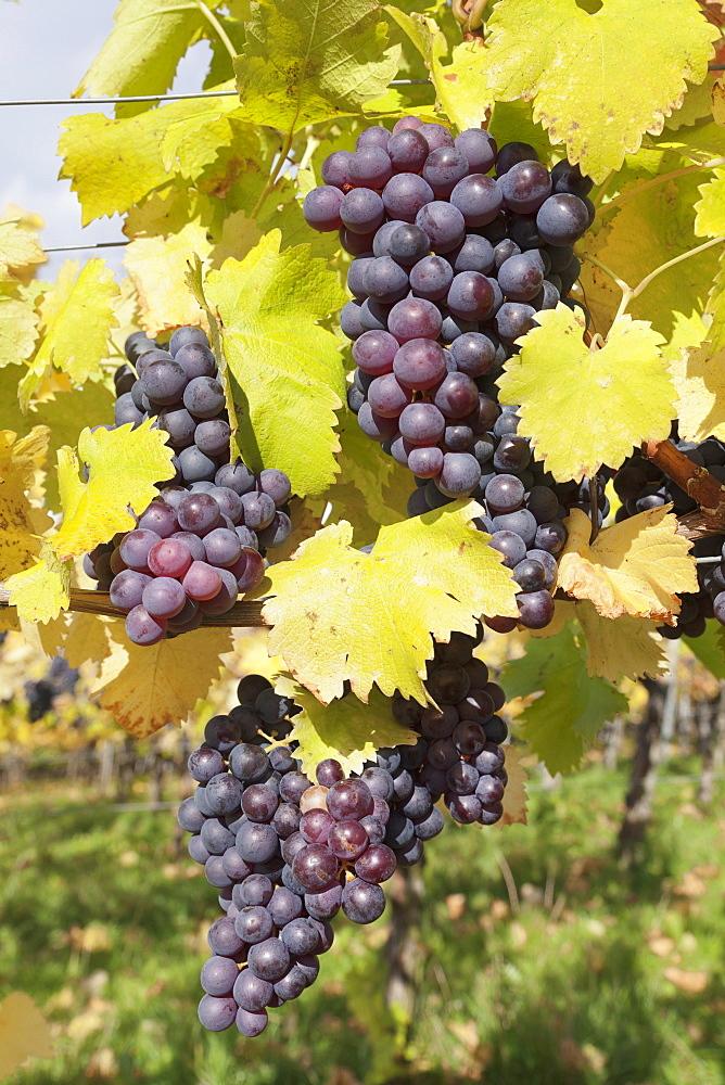 Red wine grapes in autumn, Uhlbach, Stuttgart, Baden Wurttemberg, Germany, Europe