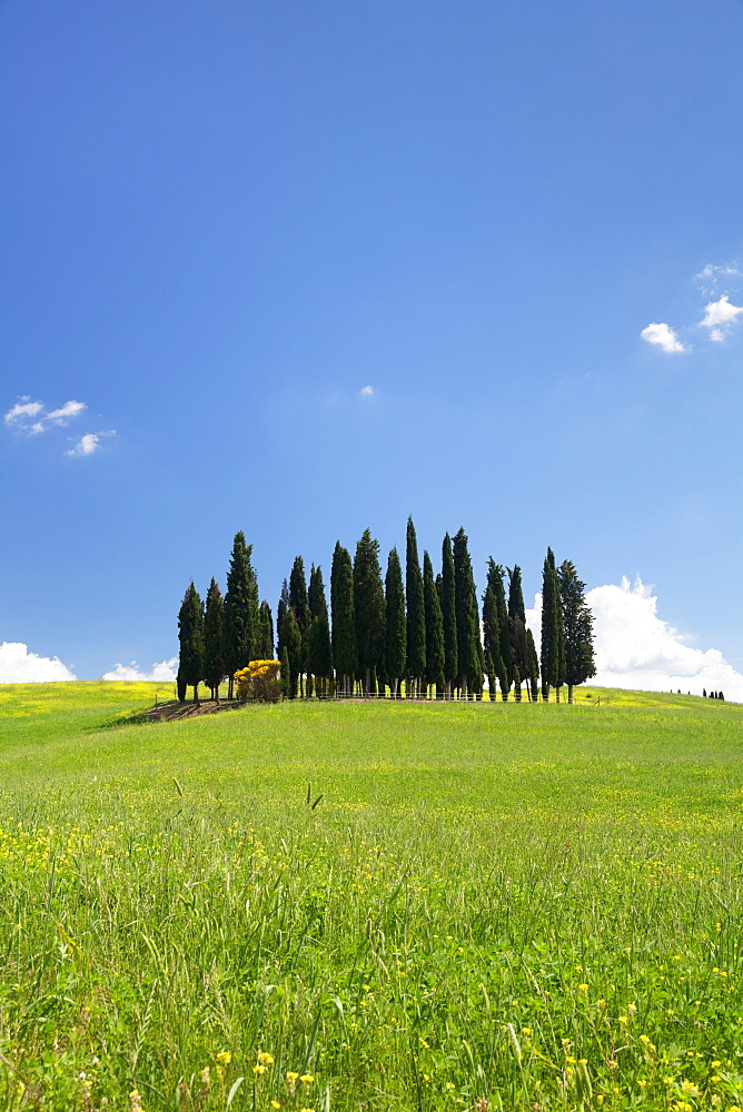 Group of cypress trees, near San Quirico, Val d'Orcia (Orcia Valley), UNESCO World Heritage Site, Siena Province, Tuscany, Italy, Europe