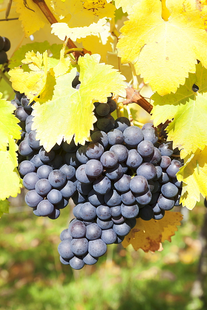 Vineyards with red wine grapes in autumn, Uhlbach, Baden-Wurttemberg, Germany, Europe