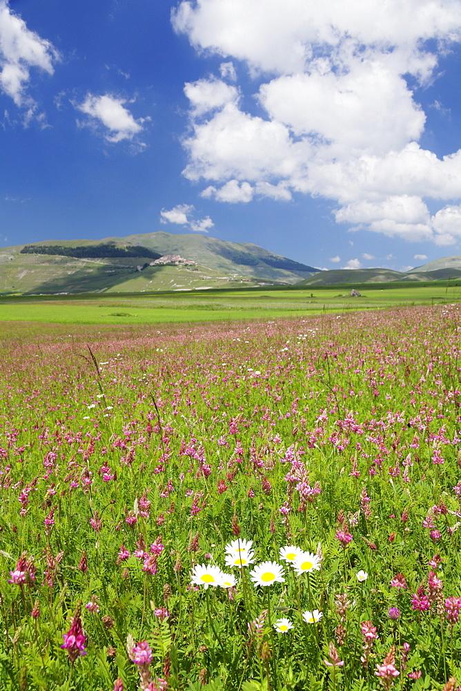 Field of wildflowers, Castelluccio di Norcia, Piano Grande, Monti Sibillini National Park, Perigua District, Umbria, Italy, Europe