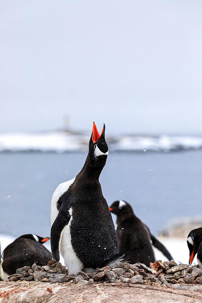 Gentoo penguin (Pygoscelis papua) calling, Damoy Point, Dorian Bay, Wiencke Island, Antarctic Peninsula, Antarctica