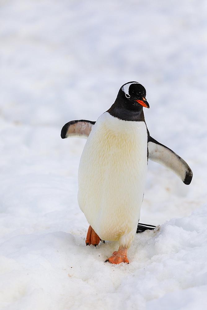 Gentoo penguin (Pygoscelis papua), Cuverville Island, Errera Channel, Danco Coast, Antarctic Peninsula, Antarctica