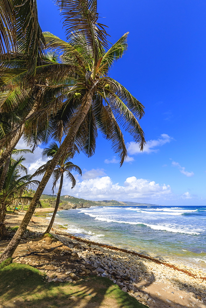 Bathsheba, windswept palm trees, Atlantic waves, rugged East Coast, Barbados, Windward Islands, West Indies, Caribbean, Central America