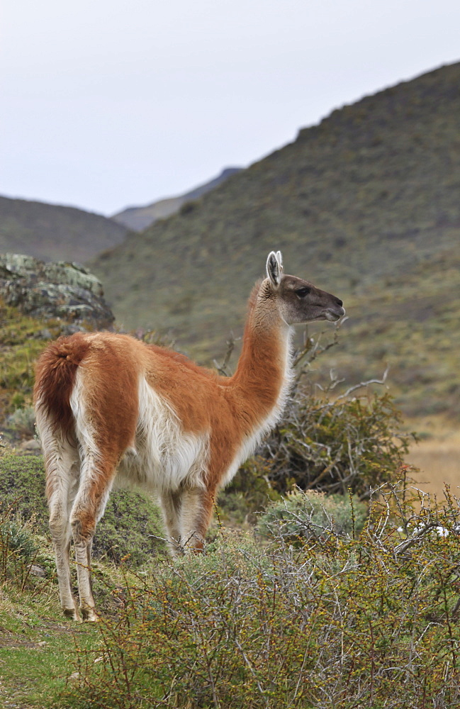 Alert guanaco (Lama guanicoe), Torres del Paine National Park, Patagonia, Chile, South America