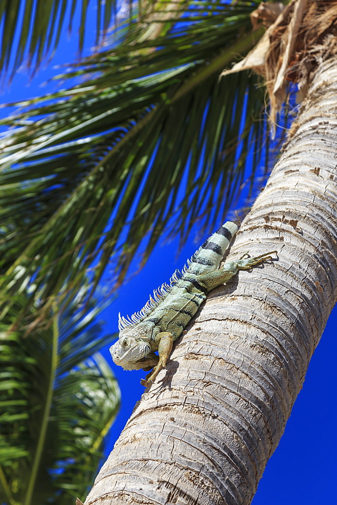 Green iguana (iguana iguana), dorsal crest in profile, descends palm tree trunk, Orient Beach, St. Martin (St. Maarten), West Indies, Caribbean, Central America