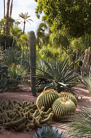 Cacti, Jardin Majorelle, owned by Yves St. Laurent, Marrakech, Morocco, North Africa, Africa