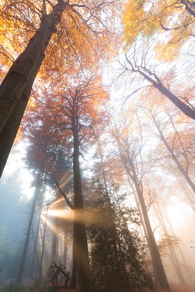 Light rays in a misty German forest in autumn, Baden-Wurttemberg, Germany, Europe - 1171-226