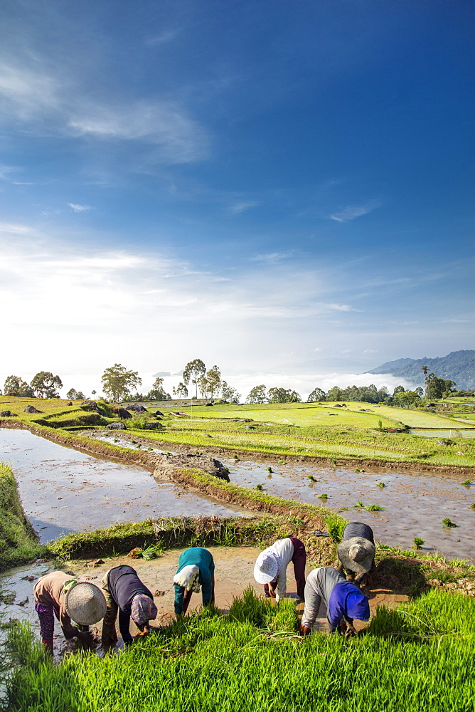 Asia, Southeast Asia, Indonesia, Sulawesi, Tana Toraja, rice farmers in rice paddy fields - 1176-1010
