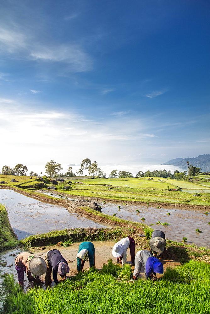 Rice farmers in rice paddy fields, Tana Toraja, Sulawesi, Indonesia, Southeast Asia, Asia - 1176-1010