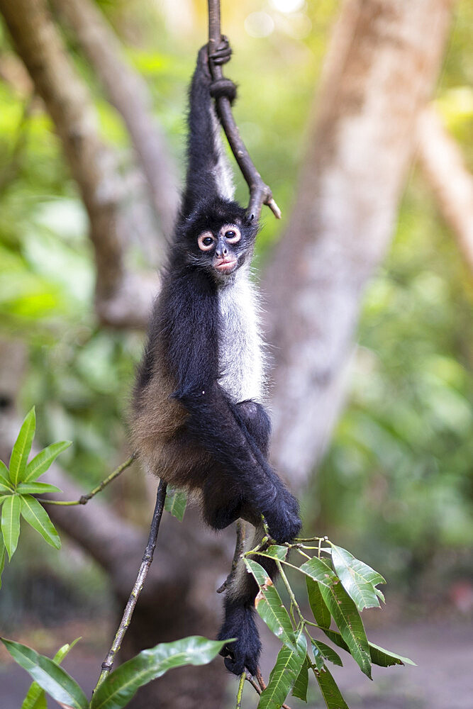 Critically Endangered Nicaraguan sub-species of the Black-handed (Geoffroy's) spider monkey (Ateles geoffroyi geoffroyi), El Salvador, Central America