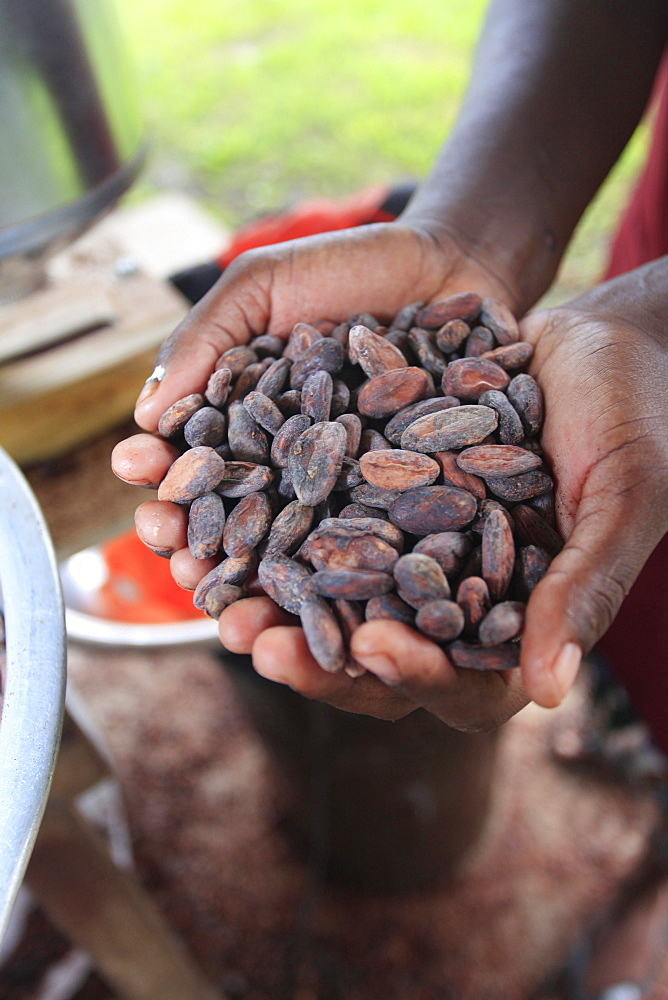 Cacao (cocoa) beans freshly harvested and ready for making into chocolate, Belize, Central America