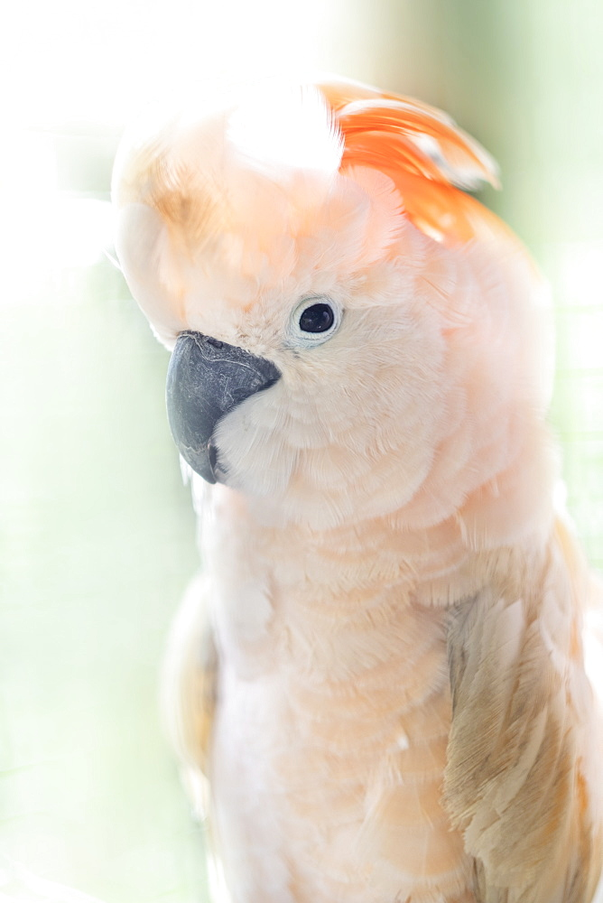Indonesia, Seram, an endemic Salmon-crested or Moluccan cockatoo - 1176-993