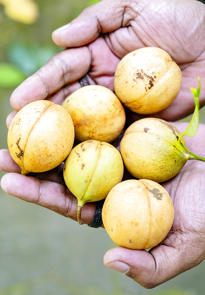 Nutmegs, Spice Islands, Moluccas (Maluku), Indonesia, Southeast Asia, Asia