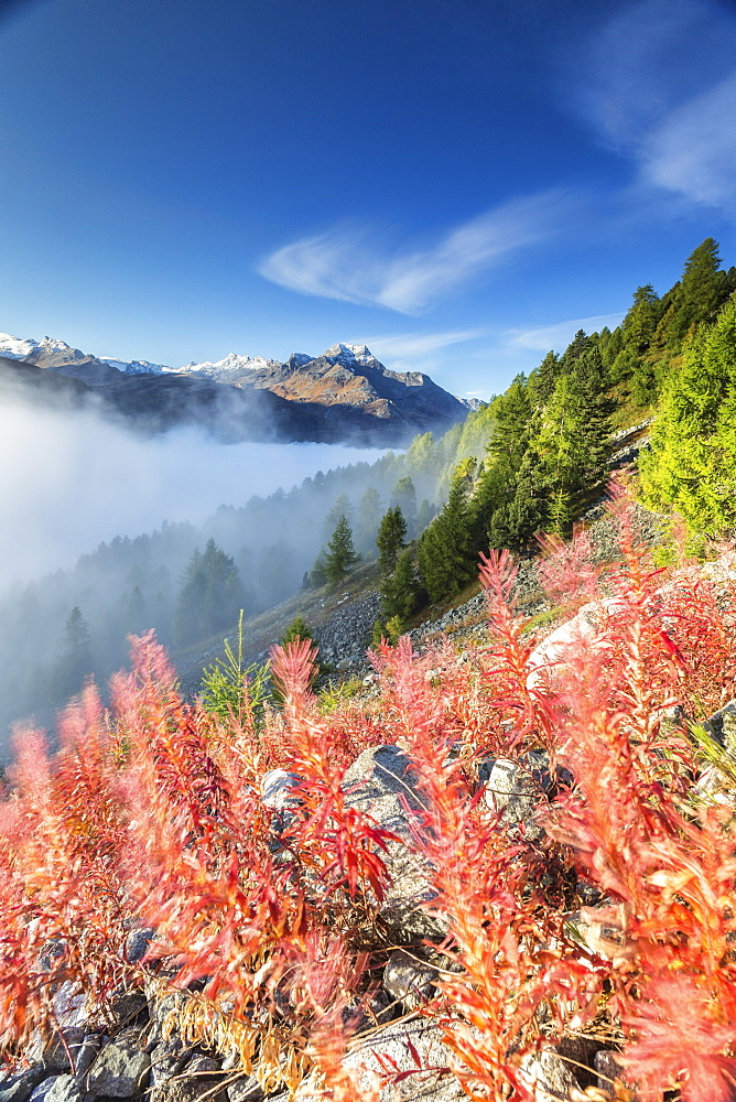 Red shrubs coloring a foggy autumn day in Engadine, near St. Moritz, Graubunden, Switzerland, Europe
