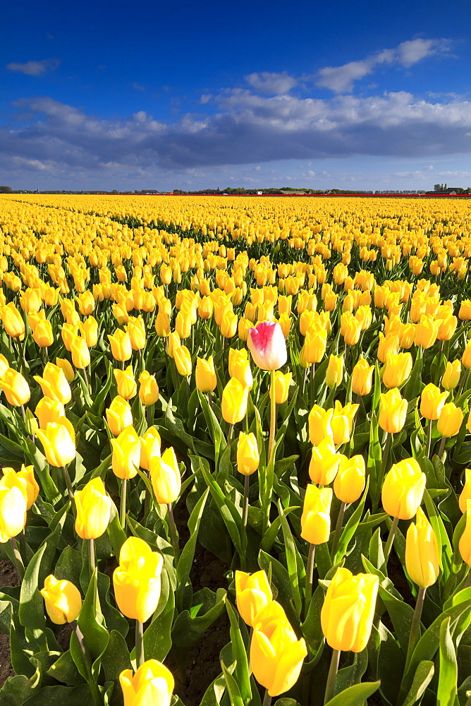 Blue sky and clouds in the fields of yellows tulips in bloom Oude-Tonge Goeree-Overflakkee South Holland The Netherlands Europe