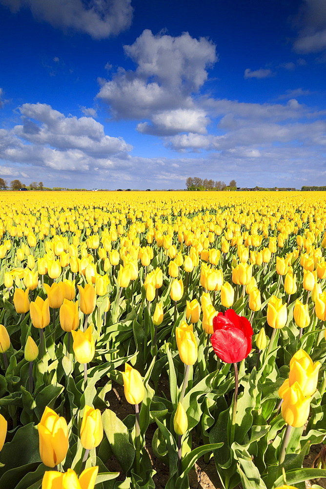 Blue sky and clouds in the fields of yellows tulips in bloom, Oude-Tonge, Goeree-Overflakkee, South Holland, The Netherlands, Europe