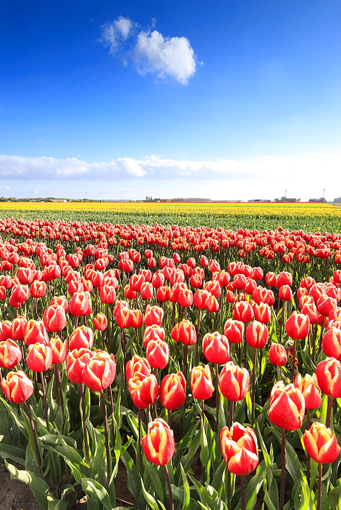 Multicolored tulips in the fields of Oude-Tonge during spring bloom, Oude-Tonge, Goeree-Overflakkee, South Holland, The Netherlands, Europe - 1179-2255