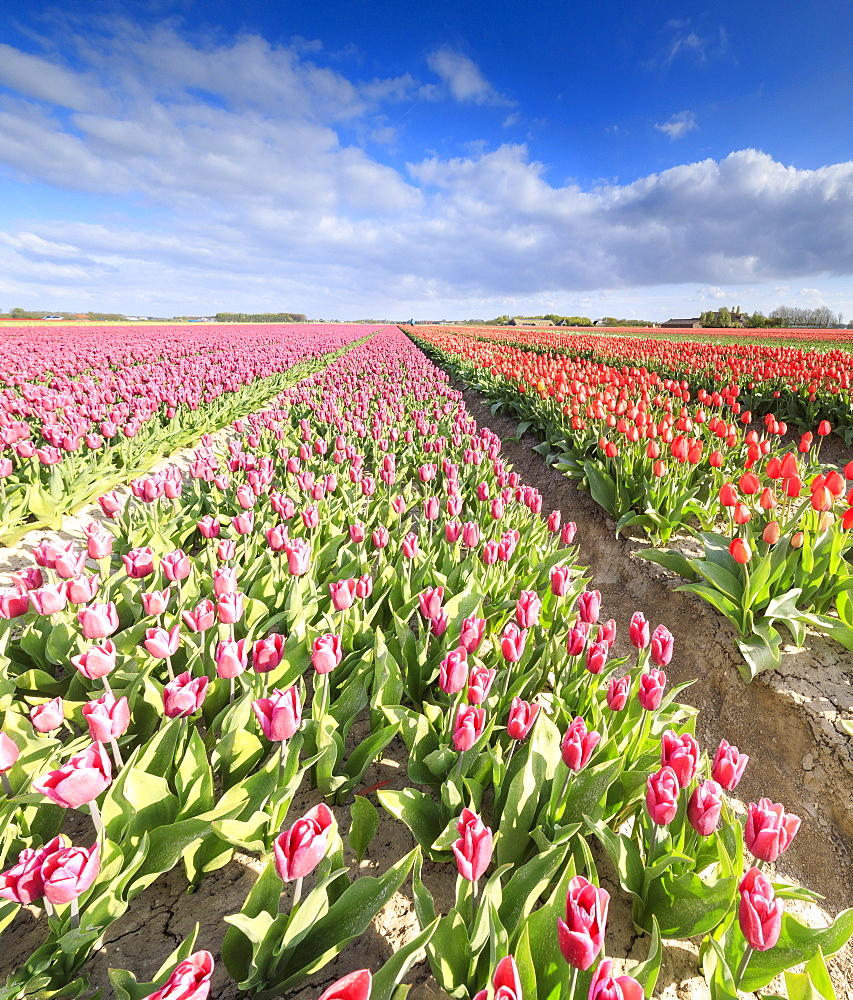Panorama of multicolored tulips during spring bloom, Oude-Tonge, Goeree-Overflakkee, South Holland, The Netherlands, Europe - 1179-2256