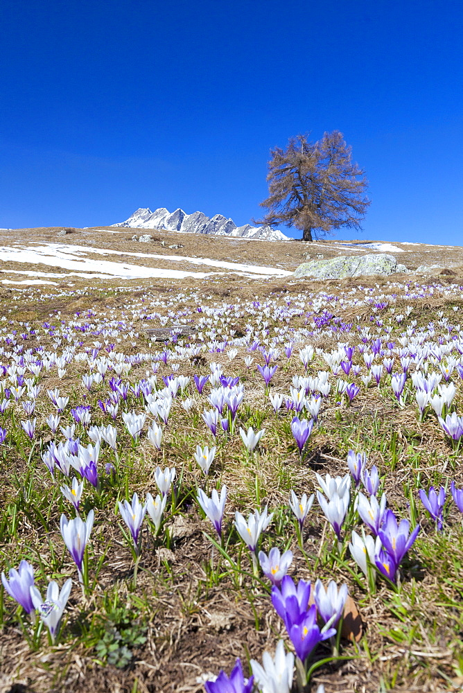 Blue sky on the colorful crocus flowers in bloom, Alpe Granda, Sondrio province, Masino Valley, Valtellina, Lombardy, Italy, Europe