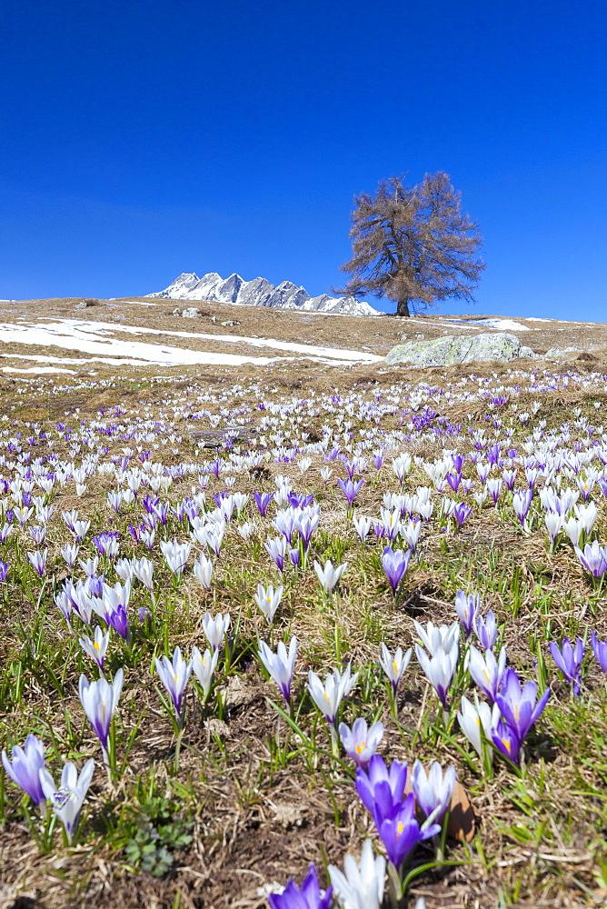 Blue sky on the colorful crocus flowers in bloom, Alpe Granda, Sondrio province, Masino Valley, Valtellina, Lombardy, Italy, Europe - 1179-2280
